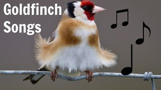 GOLDFINCH SONGS MP3