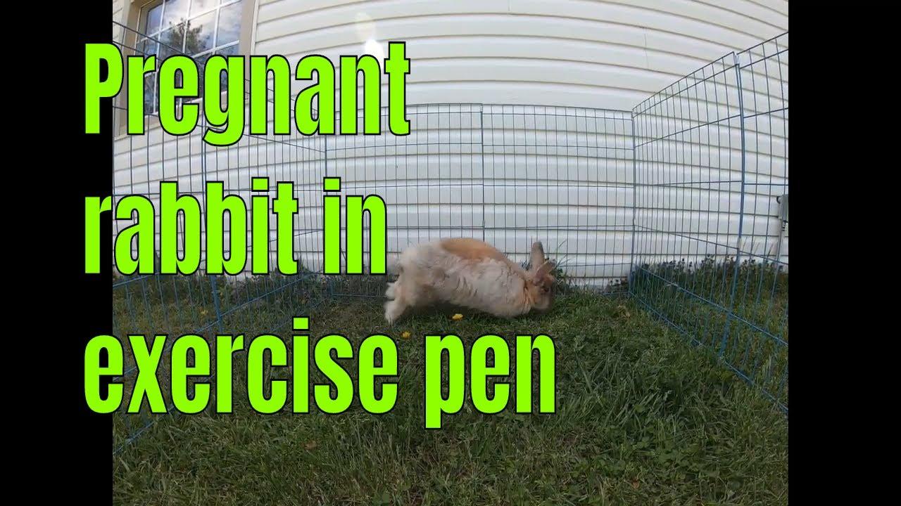 A pregnant rabbit exercising in an outdoor exercise pen