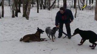 Дрессировка щенка добермана, приучение играть игрушкой в стае собак