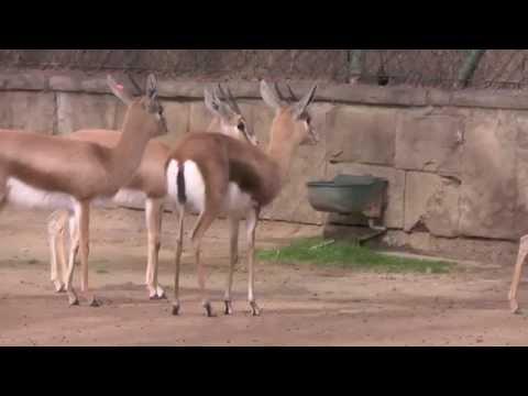 Dorcas-Gazelle: Follow-me Signal