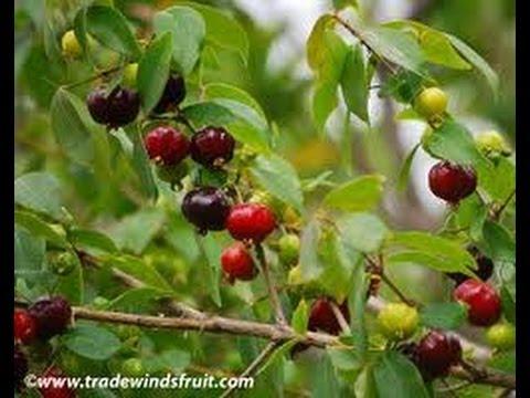 $30Bandit_Luke Stylz- Creating Food Forest and Wild Surinam Brazilian Bush Cherry Benefits