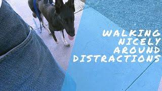 Walking Bailey Around Massive Distractions