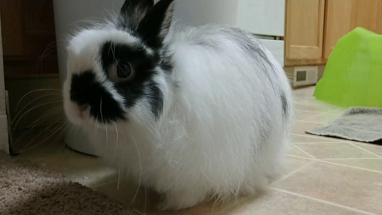 Meet Sora our Jersey Wooly Bunny Rabbit - YouTube