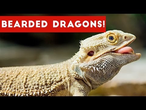 Funniest Cool Bearded Dragon Videos Weekly Compilation 2016 | Funny Pet Videos