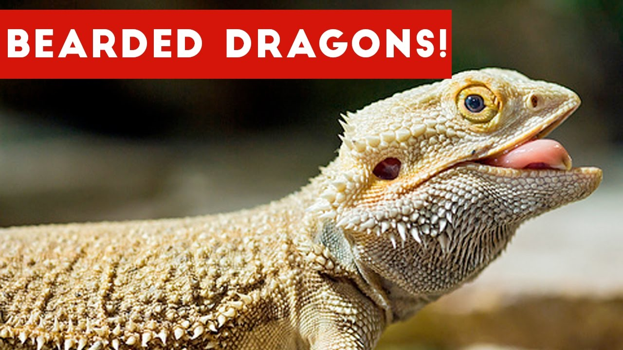 Pet Bearded Dragon For Sale