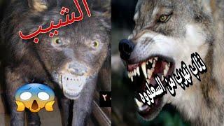 تصوير اول مرة في العراق فيديو لحيوان الشيب او ما يسما سعلووه  وهوه يهاجم الذئاب 😱