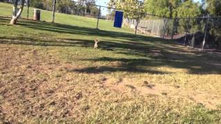 Small 5 month old Yorkshire terrier plays fetch