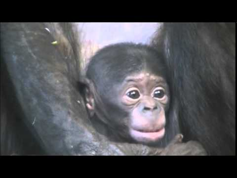 image Bonobo goldie039s discovery 2