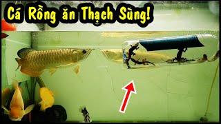 Phản Ứng của CÁ RỒNG khi thấy THẠCH SÙNG| AROWANA eat geckos | Thúc SIZE cá RỒNG Phần 3.