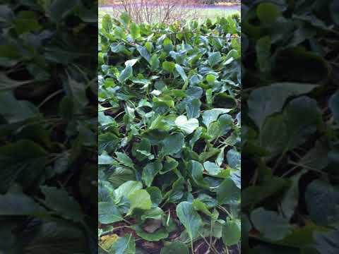 Elephant's ears (Bergenia) - plant - December 2017