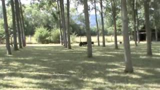 Blue Boy Herding II -Blue Boy au troupeau Juillet 09