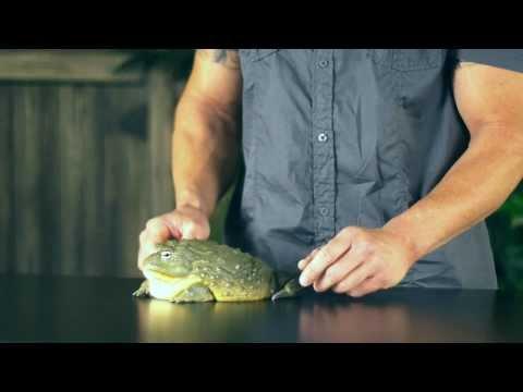 Pet World Insider Tip - Dan Mulleary, African Bull Frog