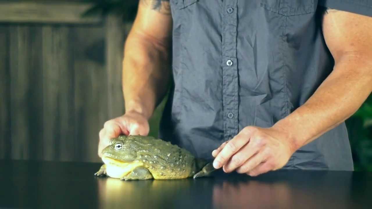Pet World Insider Tip - Dan Mulleary, African Bull Frog - YouTube