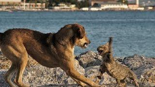 Коты нападают на собак (Crazy Cat Attacks Dog! Very angry Cat !)