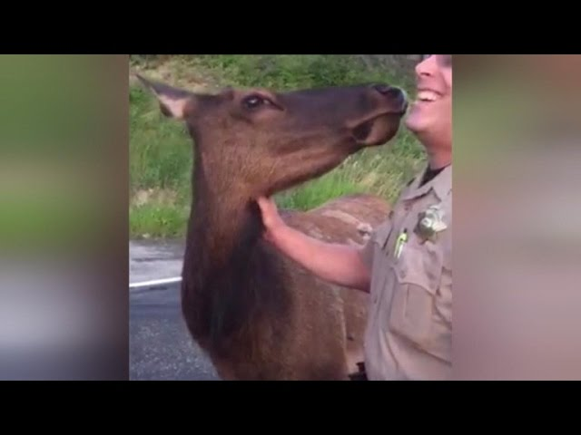 Kind-Hearted Elk Kisses Firefighters To Say Thanks For Putting Out Wildfire