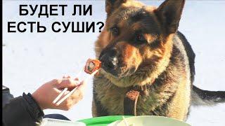 Будет ли собака кушать суши?