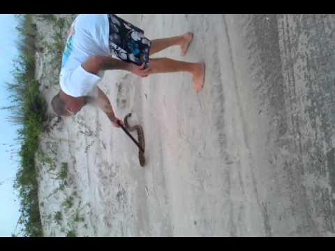 Eastern diamondback rattle snake at beach in Fl