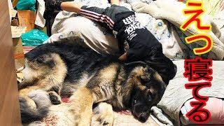 大型犬#ジャーマンシェパード.マック君 秋田犬、惣右介君、日々まったり...