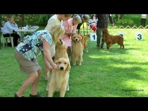 Golden Retriever Show Dog