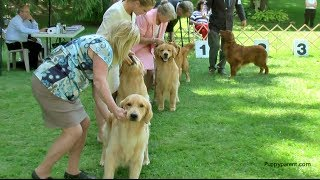 Golden retriever show dog