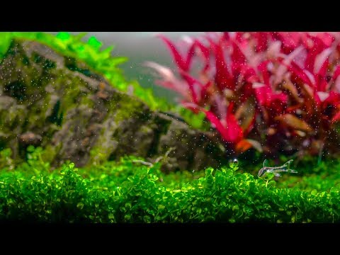 Planted Aquarium | Dreamy Red and Green Plants