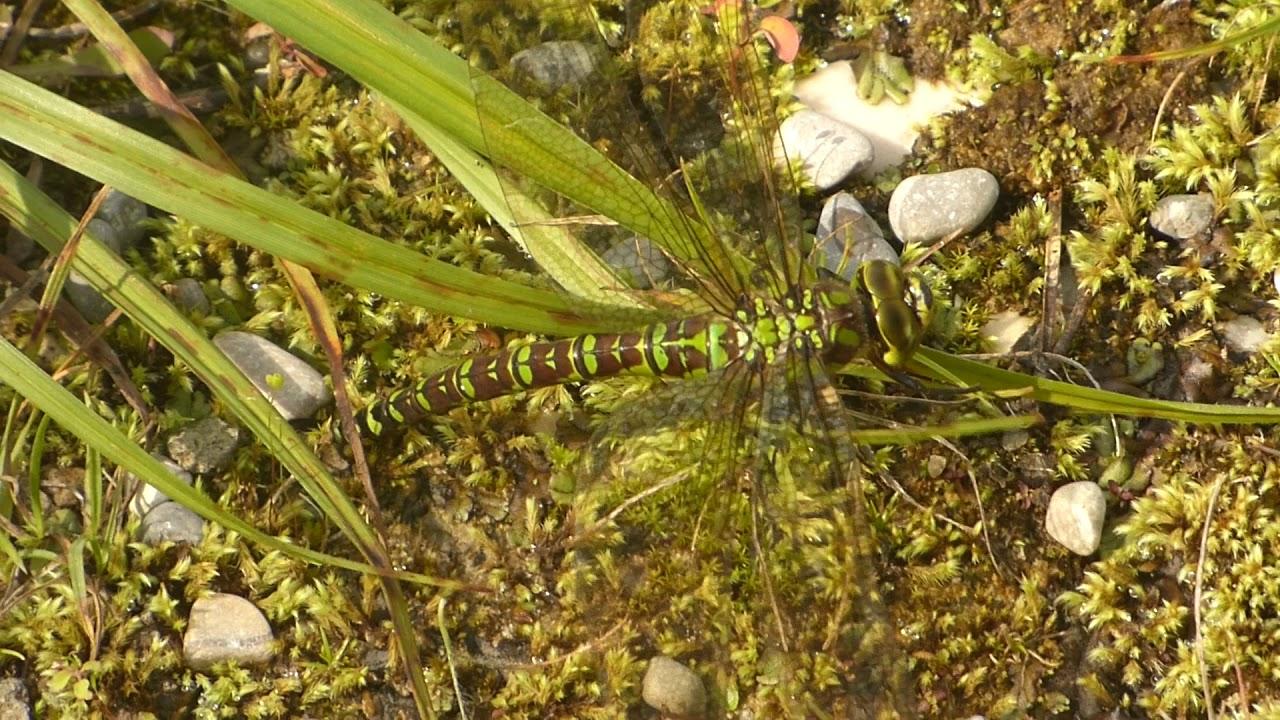Aeshna viridis GrüneMosaikjungfer Eiablage 170904p097