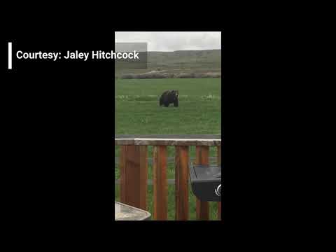 VIDEO: Bear wanders through yard of home near Dupuyer