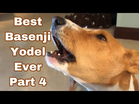 Best Basenji Yodel Ever Part 4