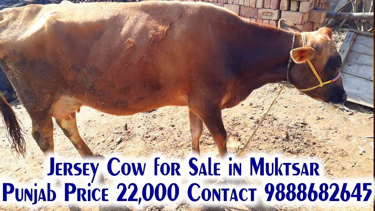 Olx Cow For Sale
