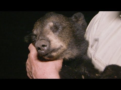 Black Bear Cub Dies Mysteriously   BBC Earth