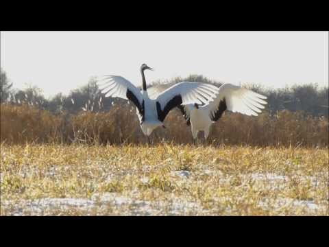 Dancing Red-crowned (Japanese) Cranes