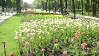1.Сезон тюльпанов