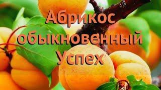 Абрикос обыкновенный Успех (uspekh uspekh) 🌿 абрикос Успех обзор: как сажать саженцы абрикоса Успех