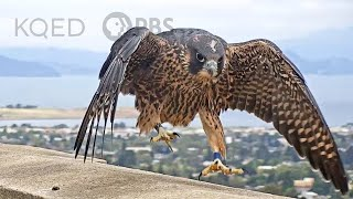 Watch These Peregrine Falcons Become Fierce Parents | Deep Look