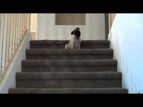 Pug Puppy Hates Walking down Stairs