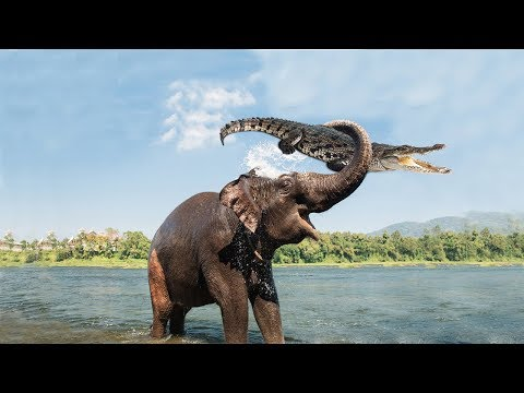 Amazing Mother Elephant Defeated Crocodile To Save Her Ba  Animals Save Animals