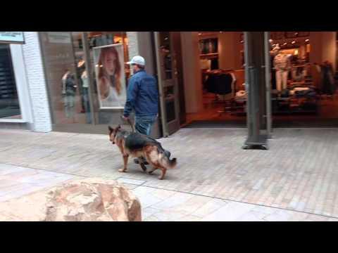Apollo a German Shepherd doing perfect obedience.