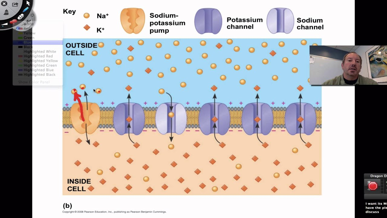 membrane potential The resting potential for a ventricular myocyte is about -90 mv, which is near the equilibrium potential for k + when extracellular k + concentration is 4 mm since the equilibrium potential for k + is -96 mv and the resting membrane potential is -90 mv, there is a net electrochemical driving force (difference between membrane potential.