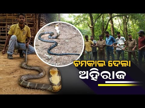 14ft Long King Cobra Rescued From House In Angul