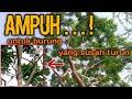 Trik Untuk Menaklukan Burung Yang Tidak Mau Turun Dari Atas Pohon  Mp3 - Mp4 Download