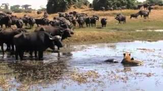 Repeat youtube video Okavango Swamp Cats