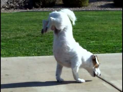World's Smartest Dog Jesse performs Amazing Dog Tricks 'Walking Hand Stand Dog'