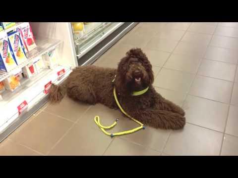 Barbet Sifra, Assistance dog in training