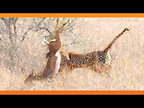 Leopard Surprises Impala With A Quick Kill!