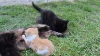 Кошки(девочки) 1 месяц, отдам в хорошие руки