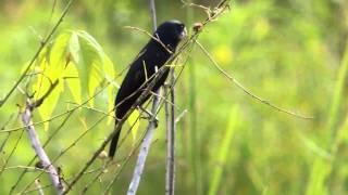 Aves de Venezuela – Aves de Barinas - Pájaros cantores de las sabanas barinesas
