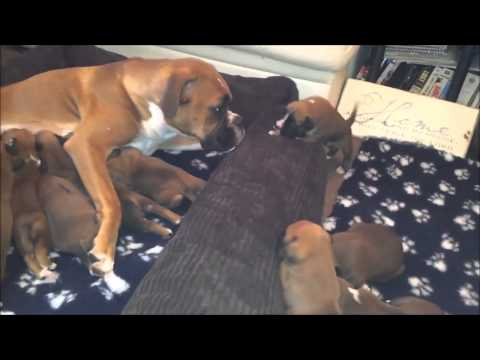 10 Boxer Puppies with Mum and Dad Lily and Milo