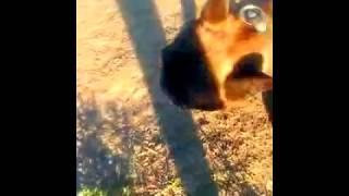 Французский бульдог отличный охотник