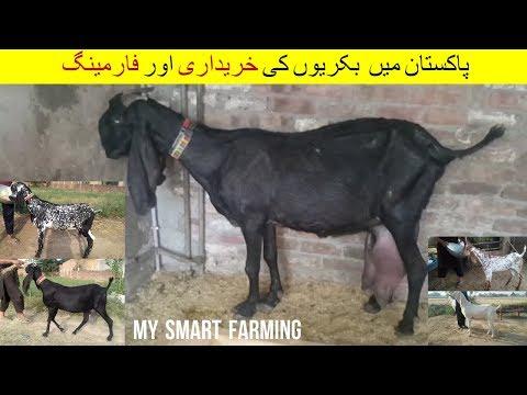 30 | Goat farming in Pakistan | پاکستان میں بکریوں کی خریداری اور فارمنگ  | Episode 12