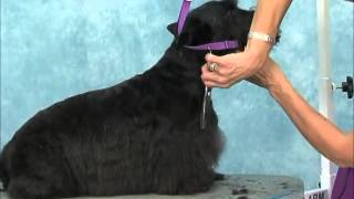 How to Groom: Scottish Terrier Jodi Murphy Instructional Series DVD